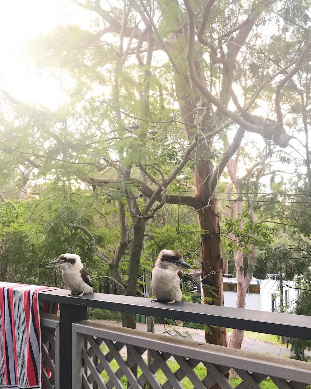 kookaburra_centralcoast