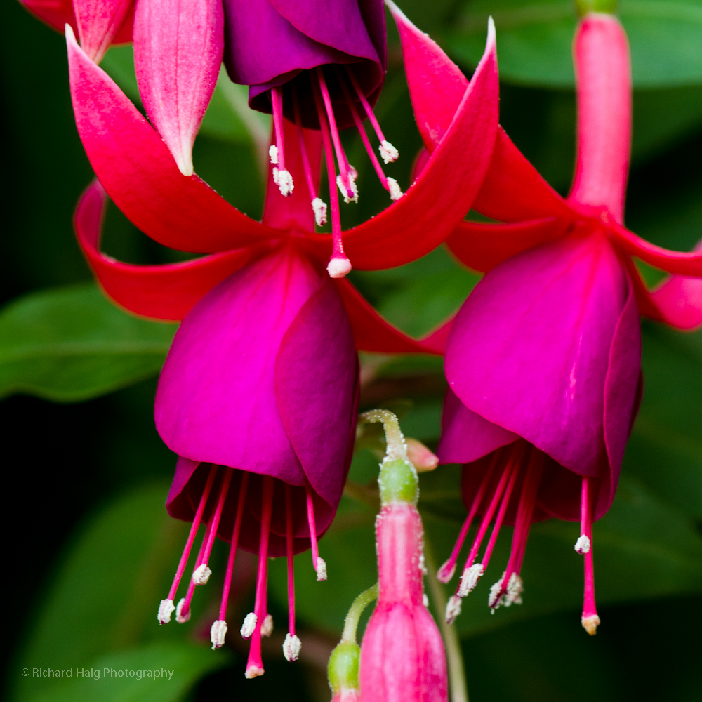 Fuchsia at Longwood Gardens