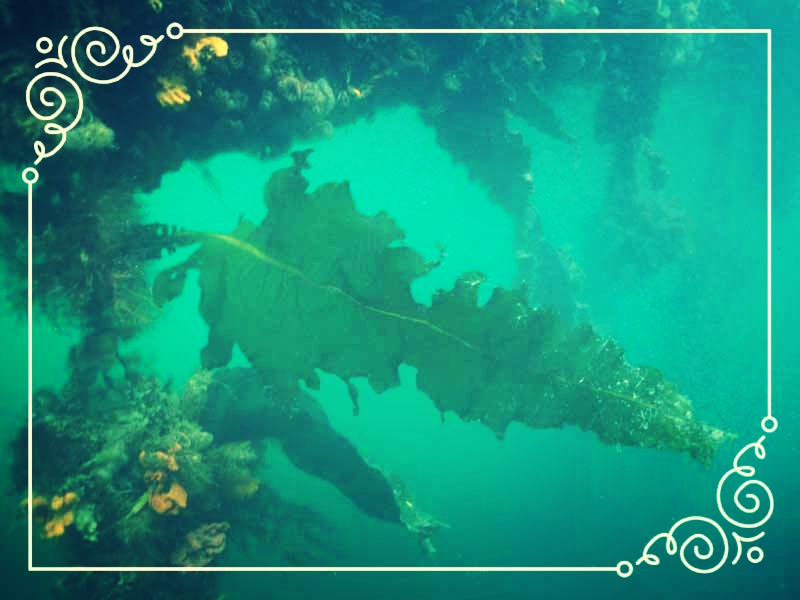 Wakame is an Asian variety of kelp, and has recently taken over San Francisco Bay...