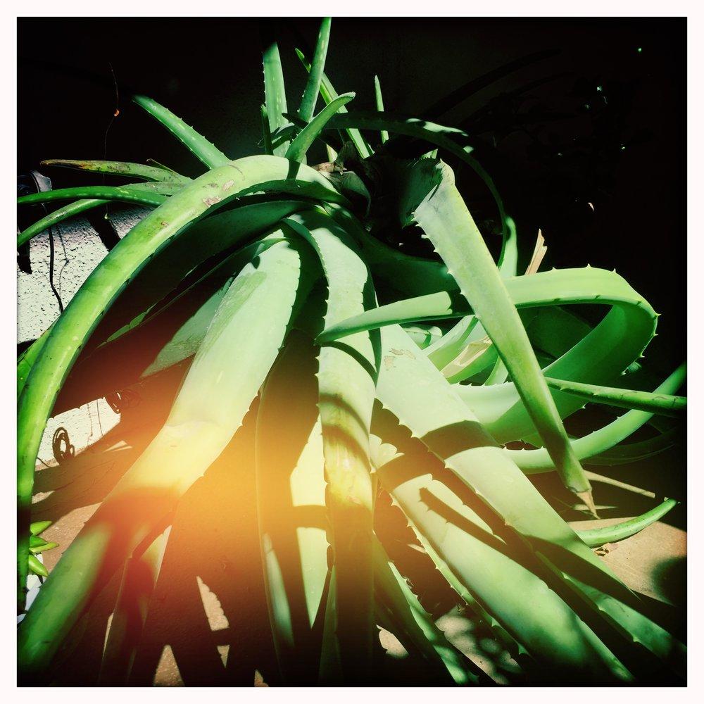 Mother Aloe