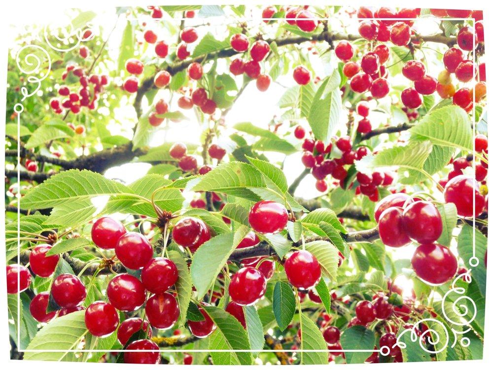 bing cherry tree.jpg
