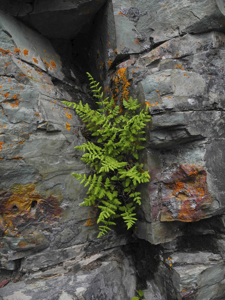 Talk about a rock and a hard place, huh? Plants in Glacier National Park seem to take what they can get! This fern was trying to find the sun along the hike to Red Rock Falls.