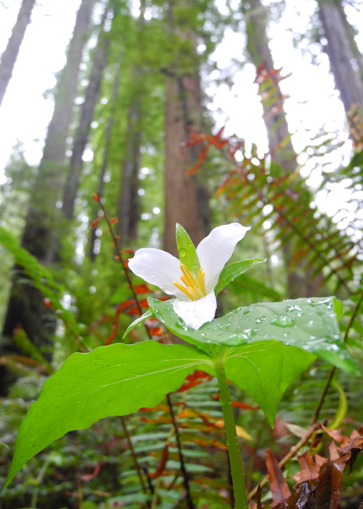 Wild lilies at the base of giant redwoods in the Redwood National and State Parks - 2013