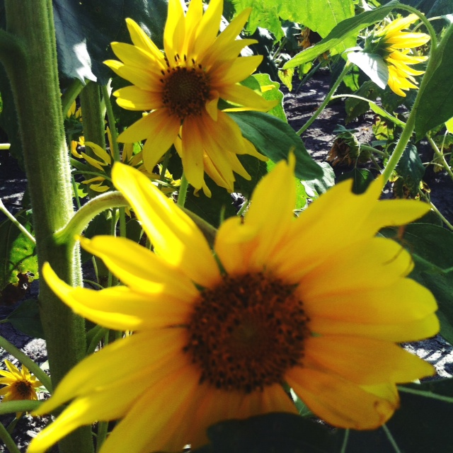sunflower 2 -2014.jpg