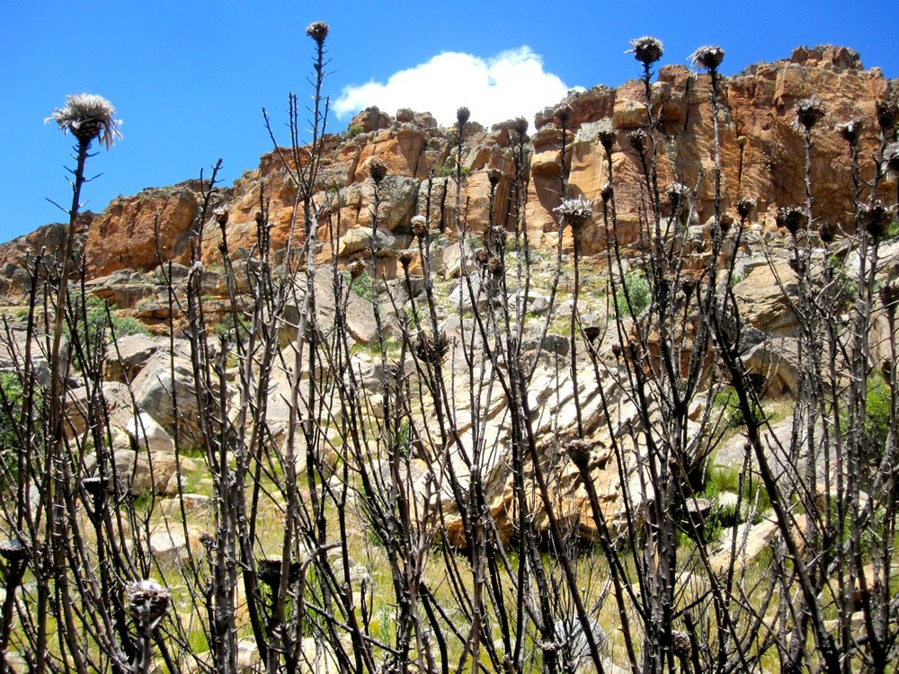 Burnt protea flowers, Cederberg, South Africa