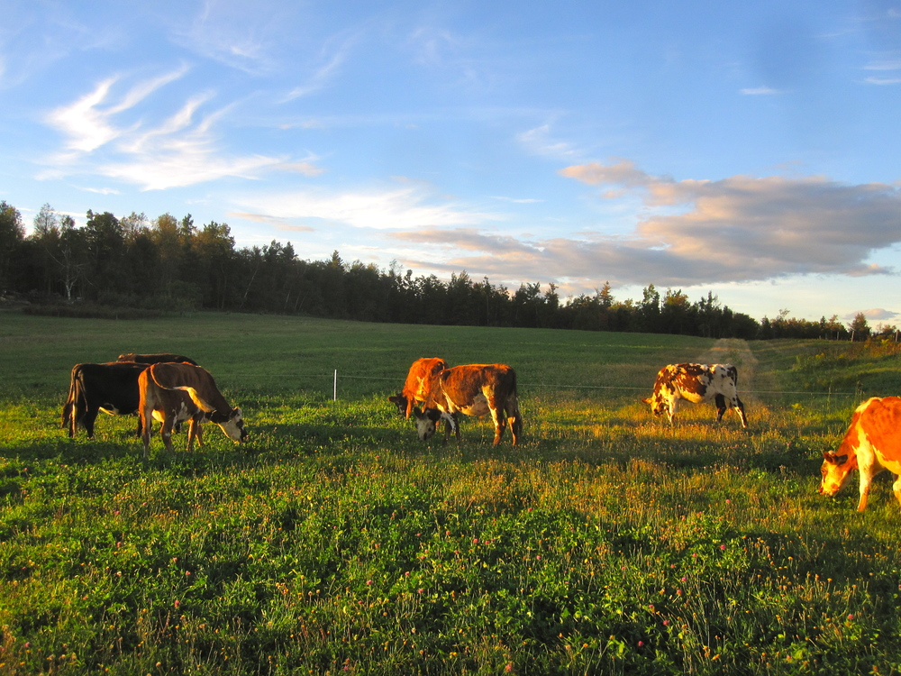 Sidehill_Grazing-Sunset.jpg