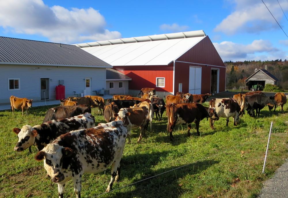 Sidehill-CowsMowing