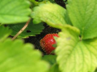 GrowLittleStrawberry.jpg
