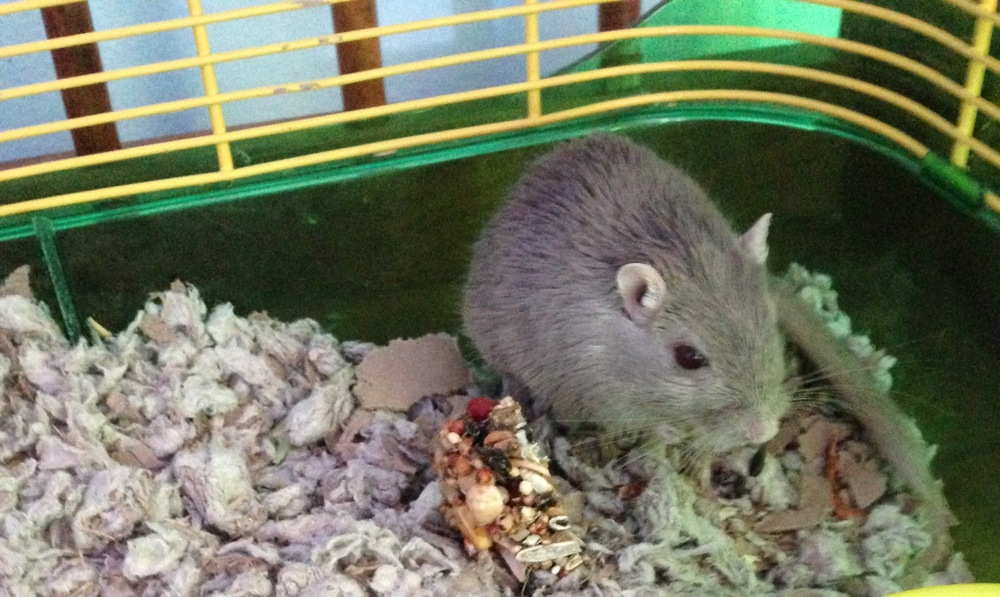 Bubbles the Gerbil