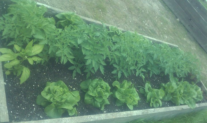 TSL lettuce.jpg