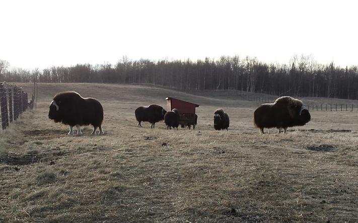 Adult Musk Oxen, Palmer AK