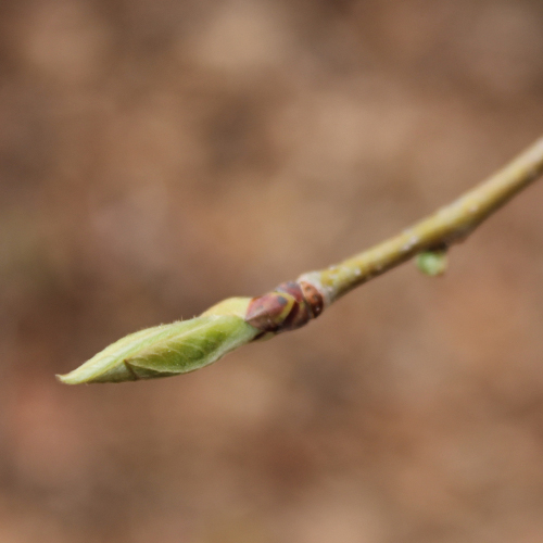 2015SP Leaf Bud 2_WEB.jpg