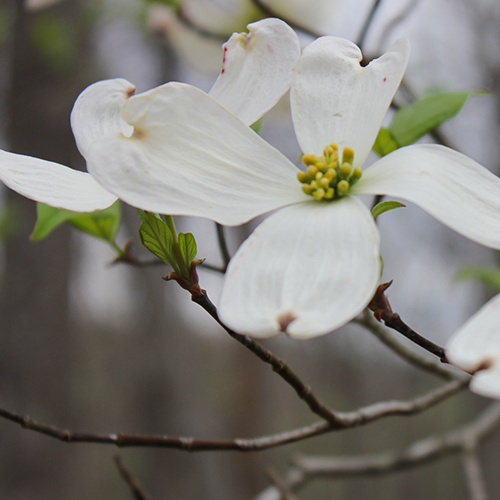2015SP Dogwood_WEB.jpg