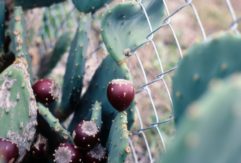 Opunta fruit, this prickly pear was growing near the Dauphin Island Sea Lab on the coast of Alabama