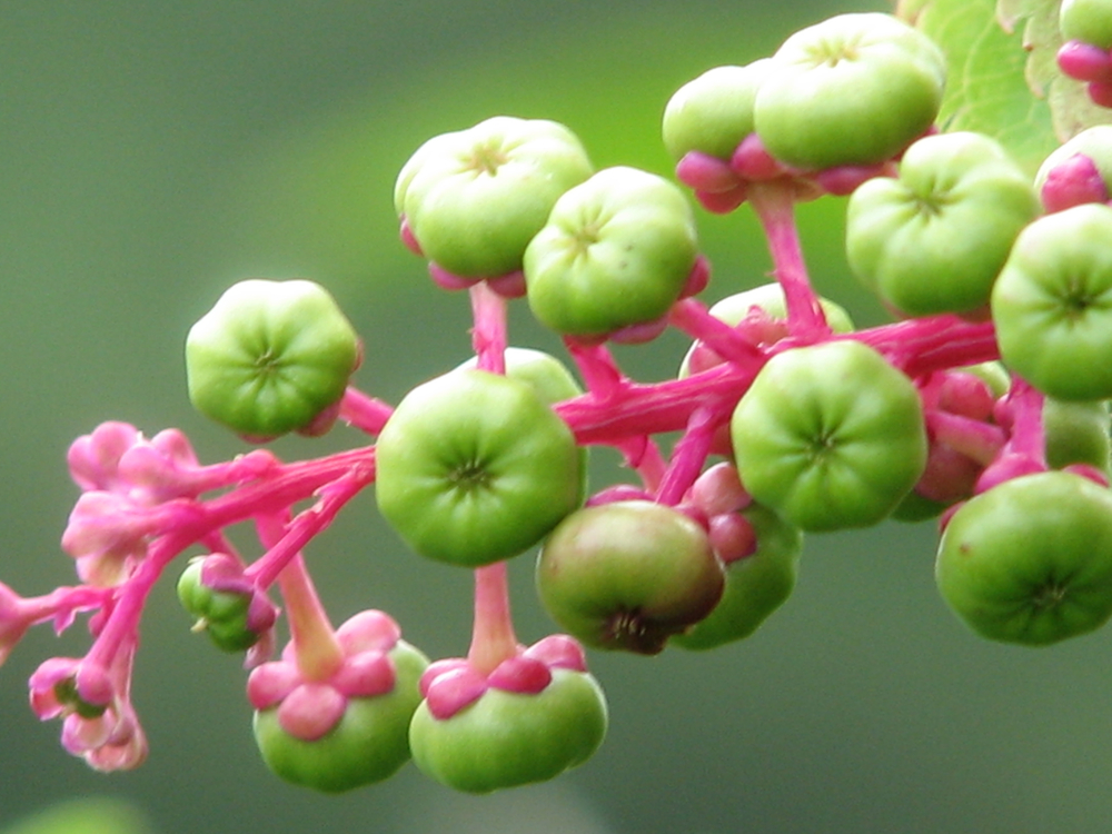 Poke Berries (immature)