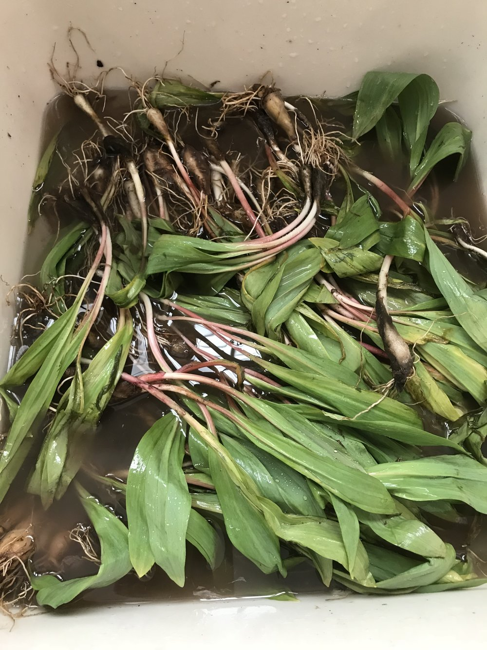 Fresh Ramps getting a bath!
