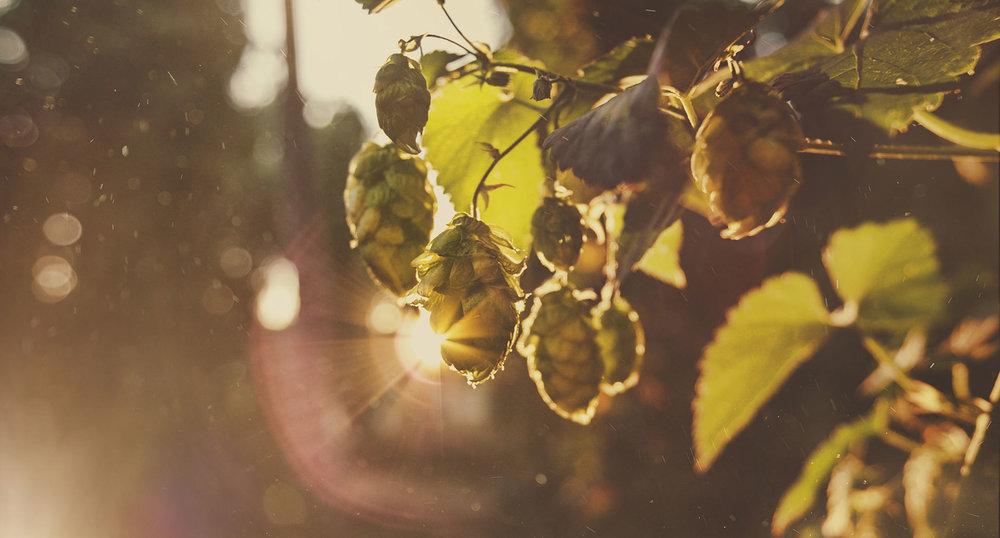 Hop Sunrise.jpg