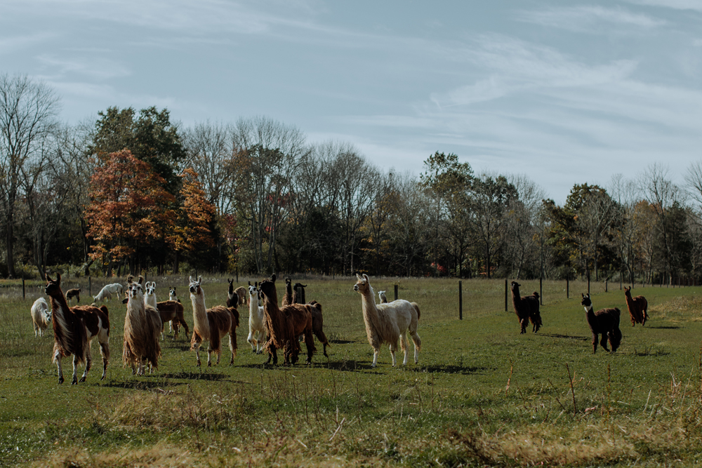 woods-edge-alpaca-farm-and-wools-llamas-new-jersey