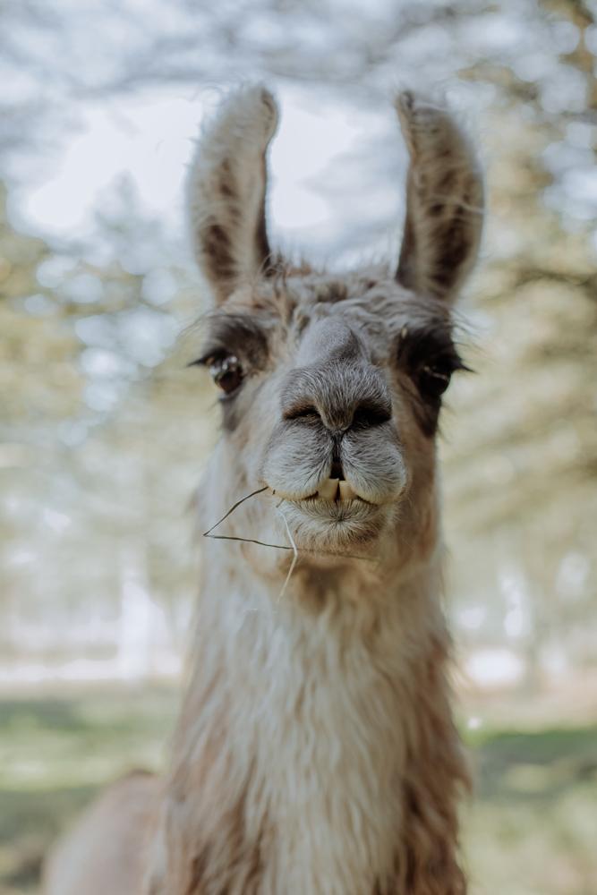 woods-edge-alpaca-farm-llama