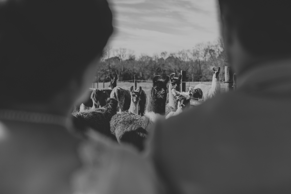 8T9A4227.jpgwoods-edge-alpaca-farm-wedding-photography-fun-llamas