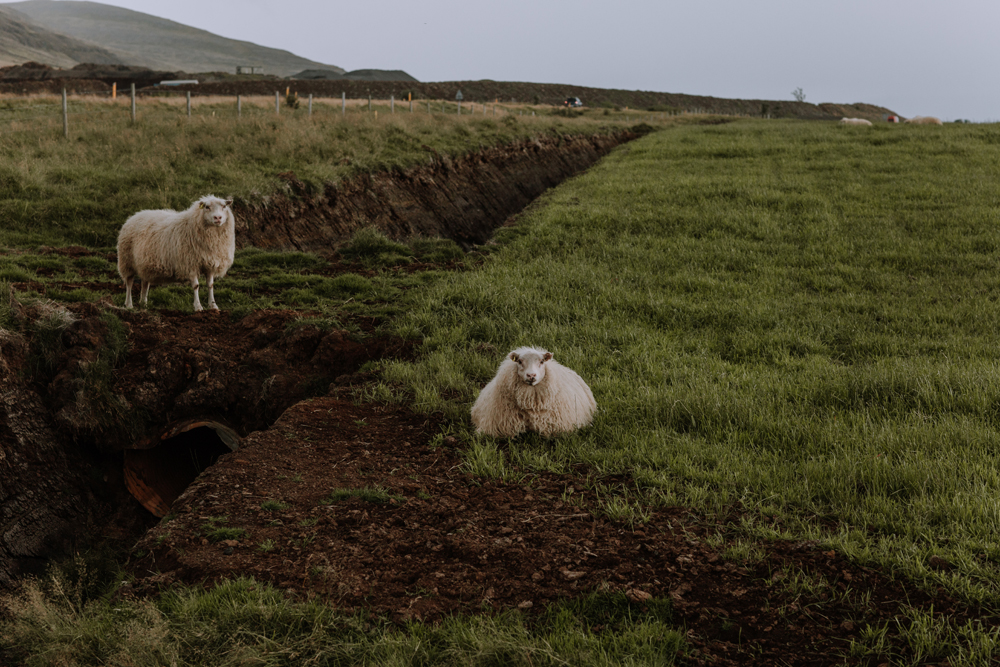 iceland-sheep-photography