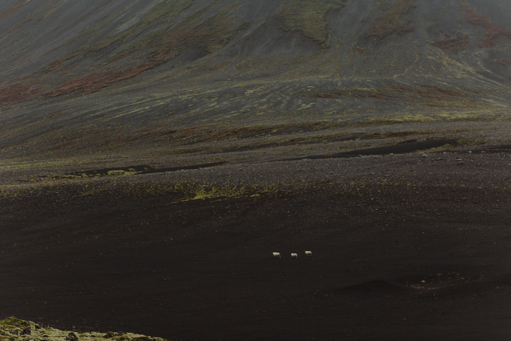 berserkjahran-lava-field-iceland-sheep-for-scale