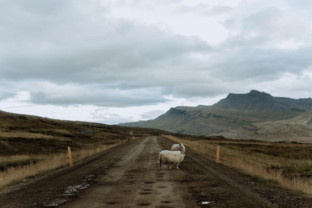 iceland-sheep-roads