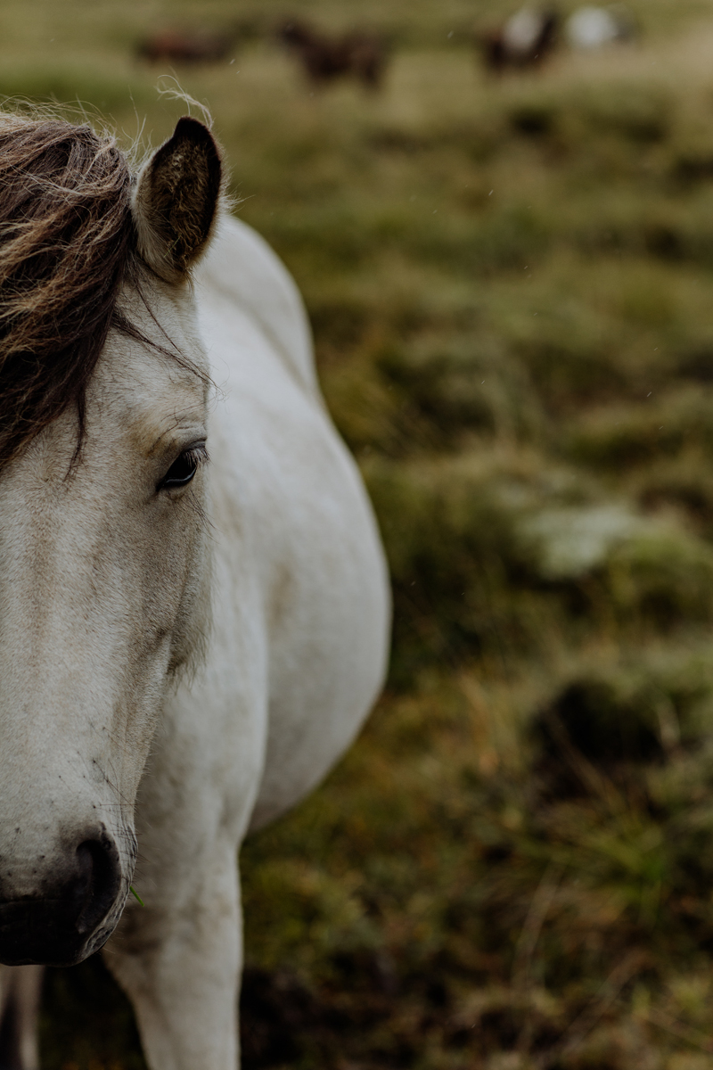 photogenic-icelandic-horse