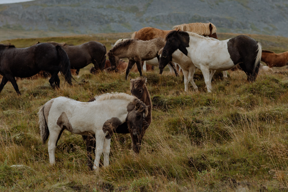 icelandic-horses-photography-grazing