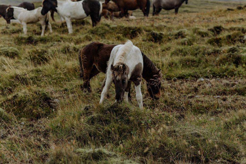 iceland-travel-horses