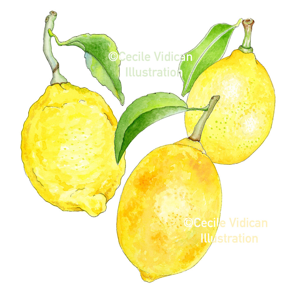 - After the sketching and inking stages, I took the time to paint these three lemons (two Meyer and one Eureka on the left) as a quick practice run, to make sure I got the yellow hues just right. They lack the detail and fine brush work that the final illustrations have, but this step helps solidify color and texture choices.