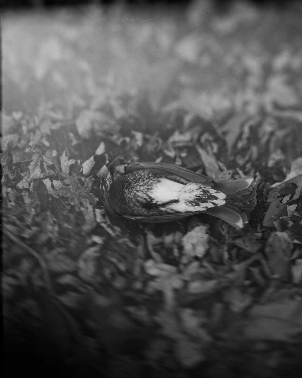 Dead Bird…  Shot on my handmade 4x5 camera.