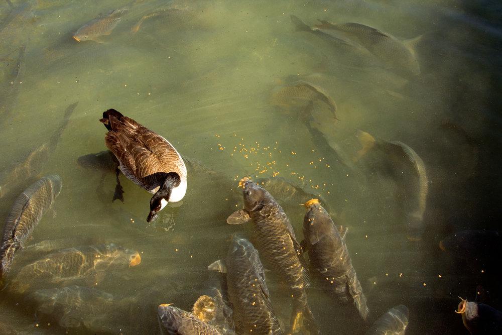 Ducks in pond.jpg