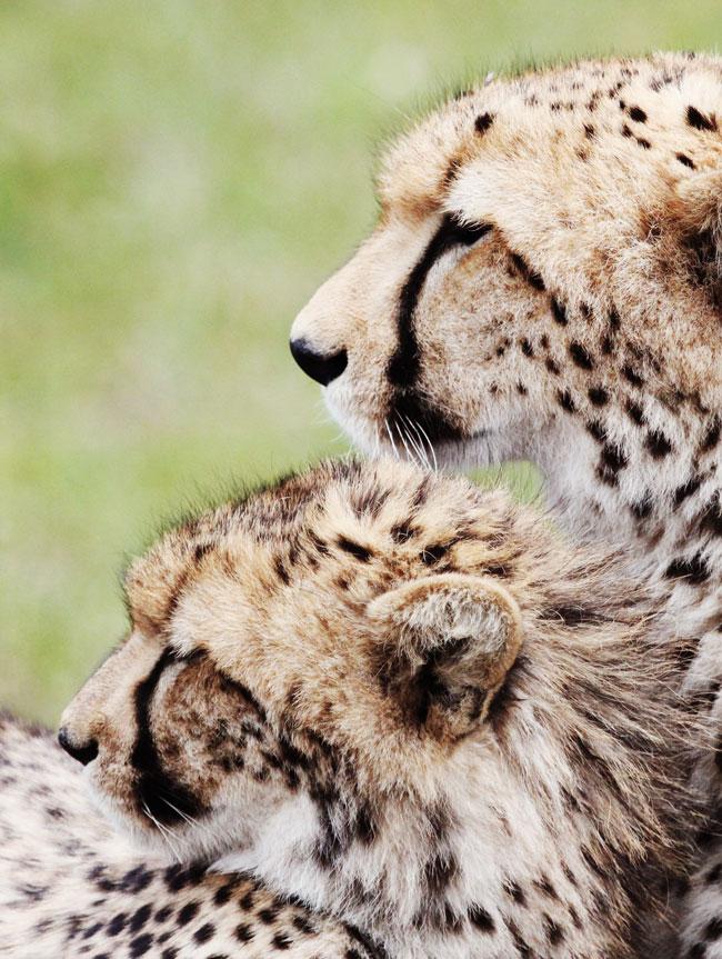 Cheetah_6442.jpg