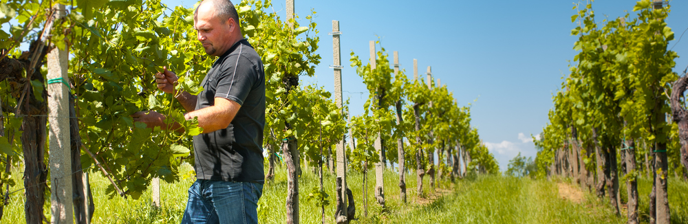 Winemaker Andrej Kristancic in the Nando vineyards.