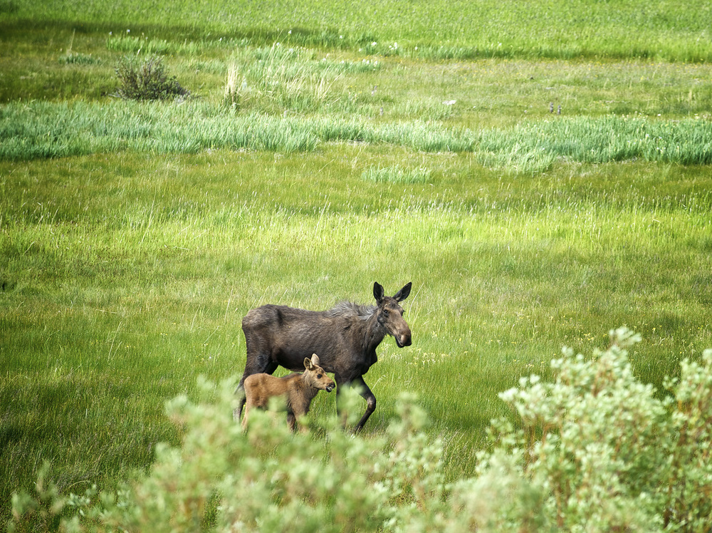 Copper Basin Moose