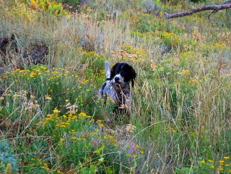 Winston the English Setter pointing a Blue Grouse near Sun Valley, Idaho