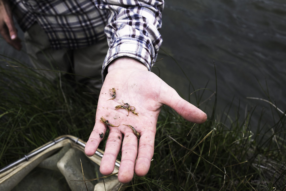 Picabo Angler employee, Wade Thomas, holds a handful of Brown Drake nymphs today, May 16th, at the Picabo Bridge on Silver Creek.