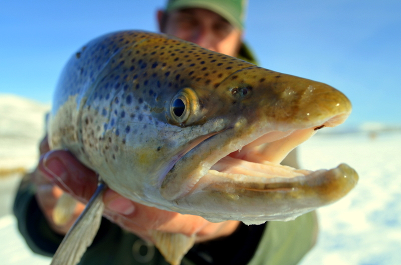 silver-creek-brown-trout.JPG