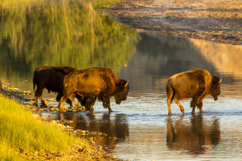 chuck-haney-bison-wildlife-crossing-little-missouri-river-theodore-roosevelt-national-park-north-dakota-usa.jpg