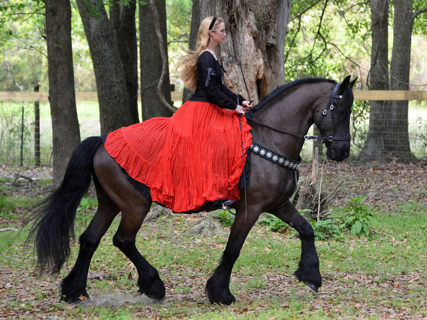 DOUWE, a 13 year old Friesian gelding