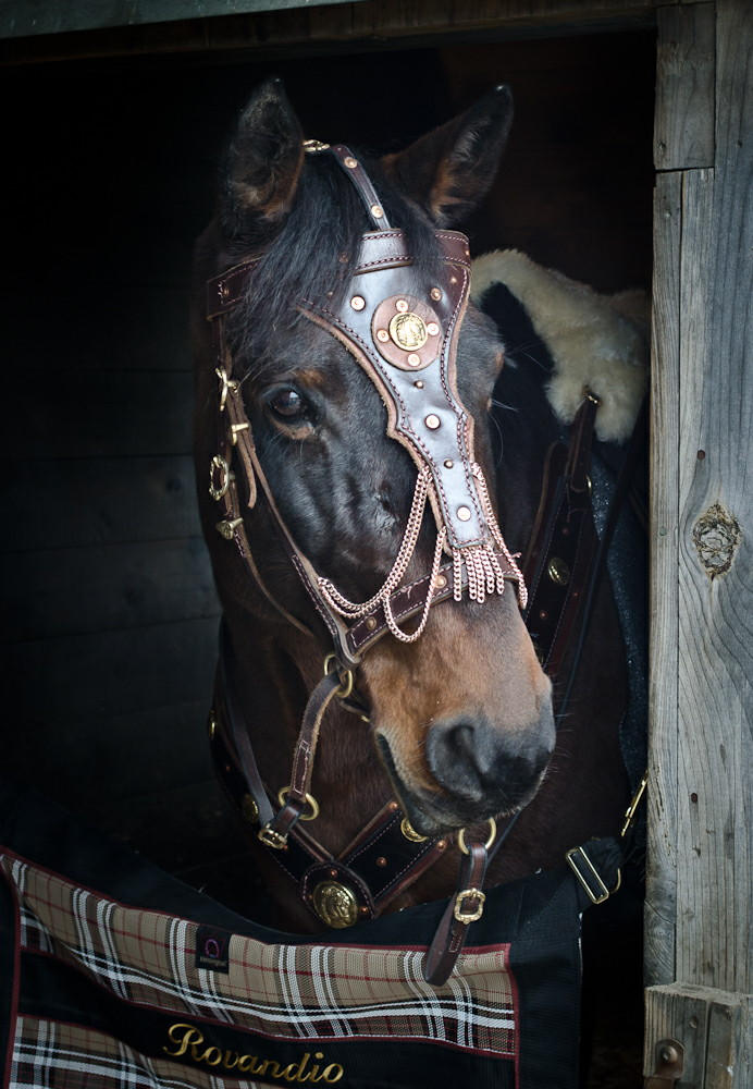 I love this photo of Rovandio getting tacked up for filming. His tack was made by Lisa Oberman of El Sueno Espanol. Photo taken by Unicovia Pictures.