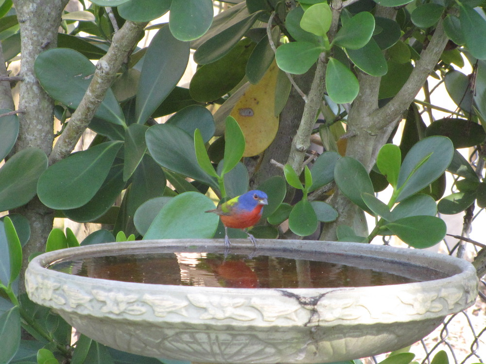 Male Painted Bunting on our bird bath a few years ago.