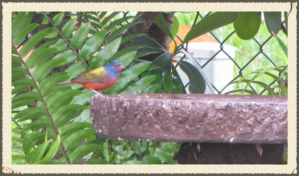 Our oldest Painted Bunting winter resident.