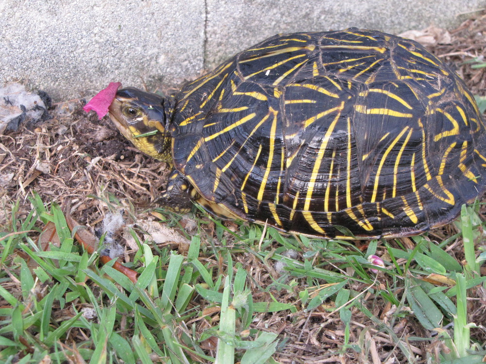 A little box turtle stopped by sporting a hot pink bougainvillea.