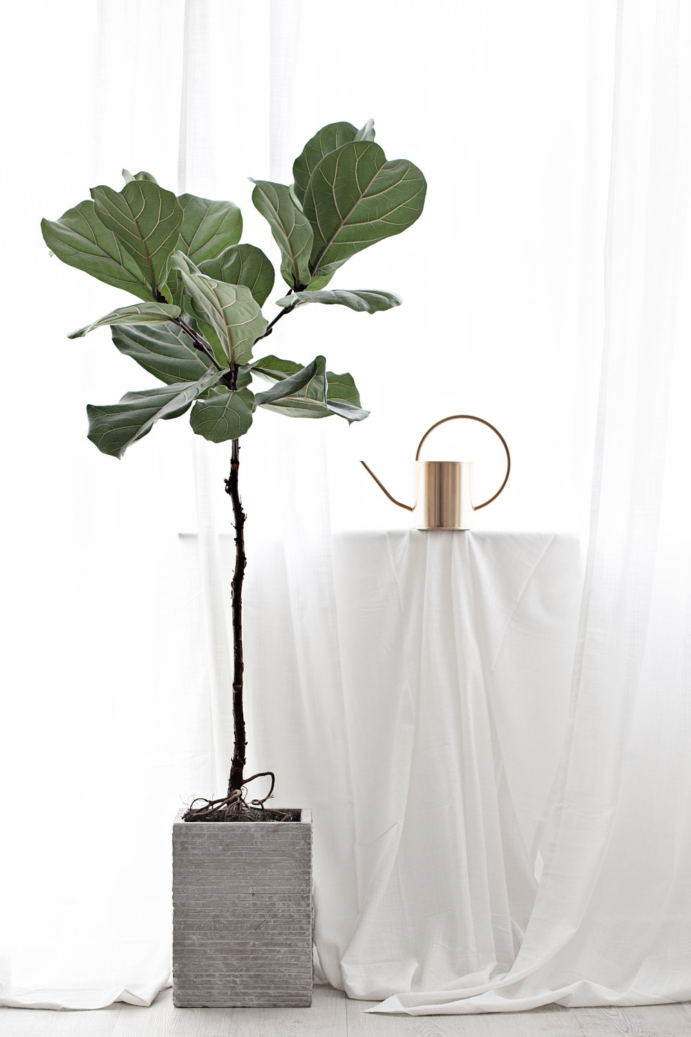 Ficus Lyrata | Fiddle Fig Tree | Linen Curtains | Brass Watering Can from H&M