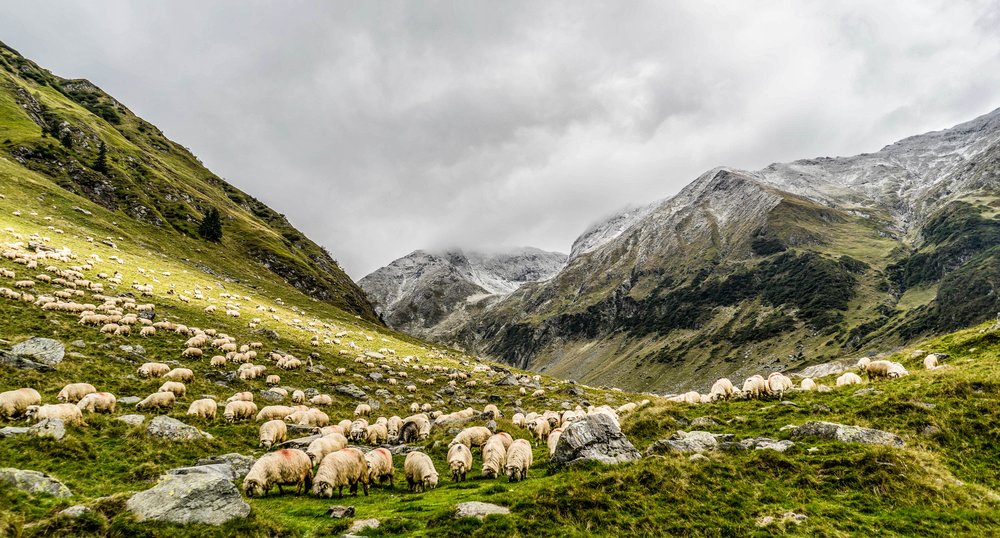 —Cosmin, Mingheras.  Sheep in the Hills.  Unsplash. 2016.