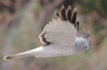 Adult Male Northern Harrier Photograph by Len Medlock