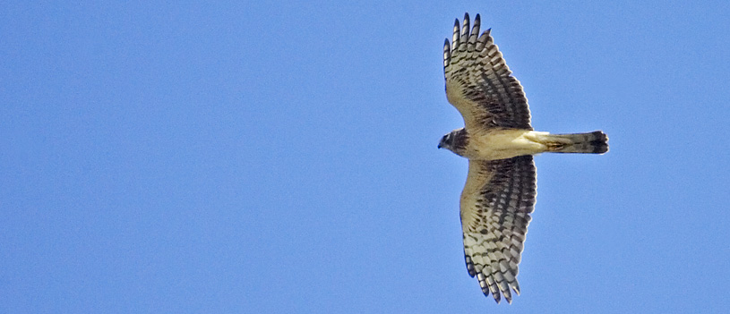 Adult Female Northern Harrier Photograph by Lillian Stokes