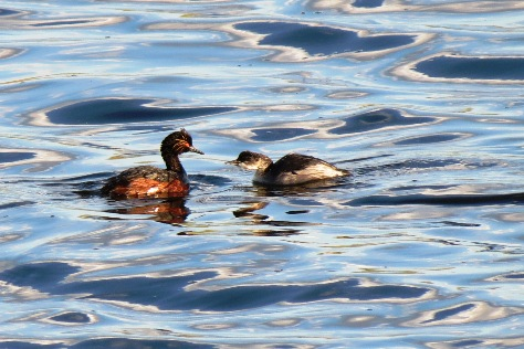 Eared Grebe with Young Photograph by Henry Walters